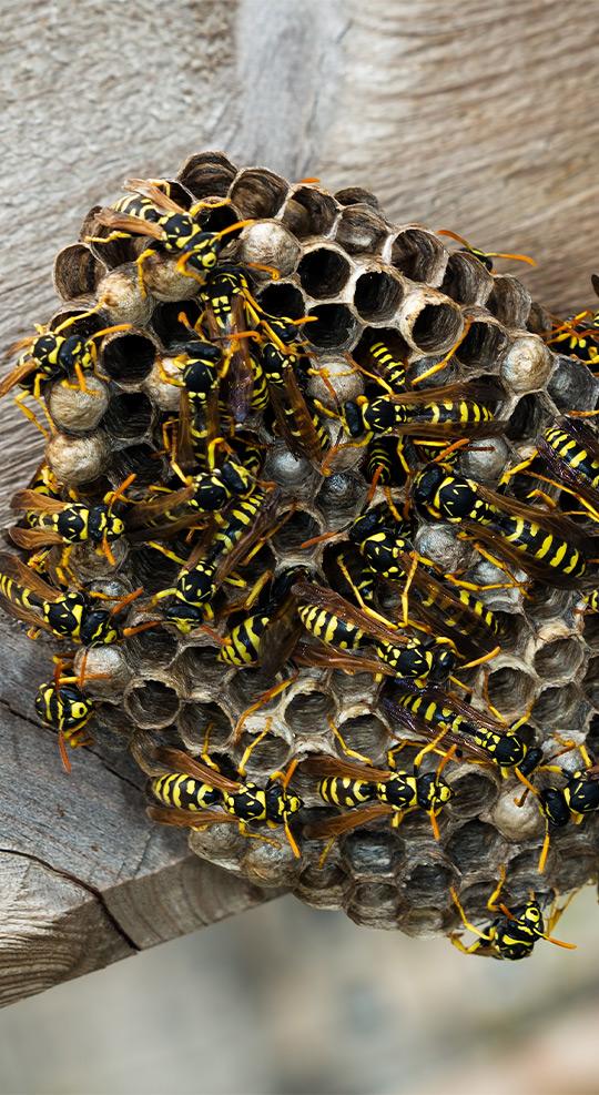 austin wasp nest